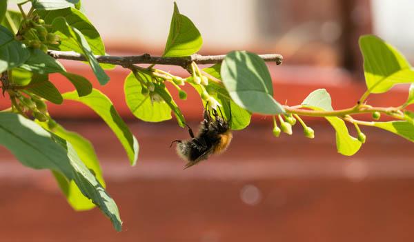 bees love alder buckthorn