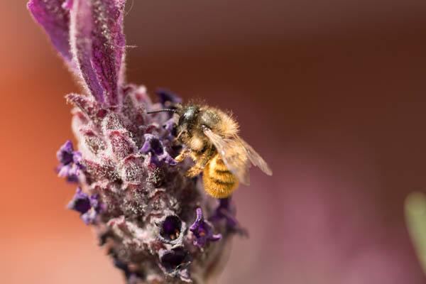 bees love lavender flower